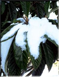 Источник Жизни» Теплолюбивая «Японская слива» растёт и плодоносит зимой