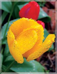 Источник Жизни» Тюльпаны, распускающиеся в начале апреля на открытом грунте