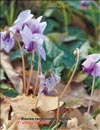 Blooming violets in late November