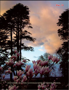 Magnolias at the background of the sunset
