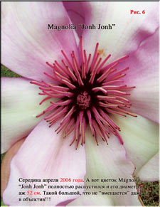 Магнолии Джон Джон