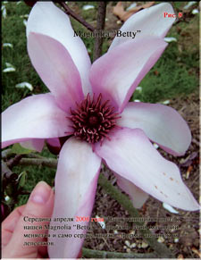 Magnolia �Batty�