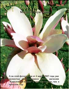Magnolia «Royal crown»