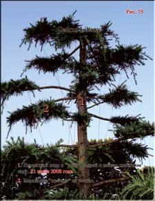 Ливанский кедр (Cedrus Libany)