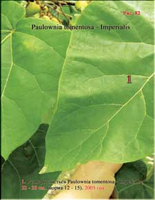 Paulownia's enormous leaves in 2005