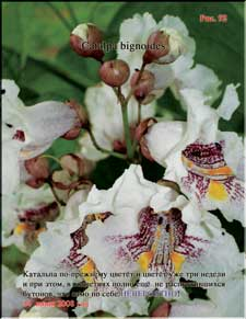 Catalpa blossoming