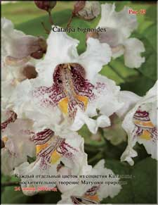 Catalpa's enormous flowers