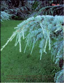 The Blue Atlas Cedar
