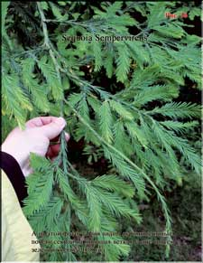 Секвойя - Sequoia Sempervirens