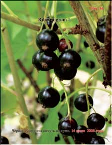 Black currant in June