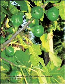 Figs in the beginning of June