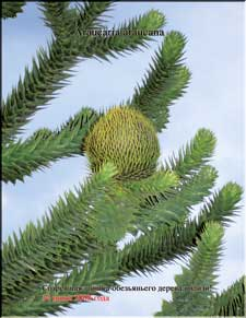 Monkey tree cones in June