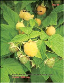 Yellow raspberry in June