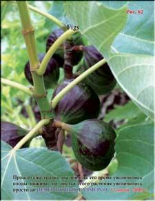 Плоды инжира растут и зреют одновременно