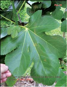 Enormous fig tree leaves