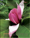 Magnolia Soulangiana «Lennei»