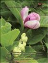 Magnolia «Verbanica»