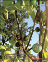The fig tree – Ficus carica L.