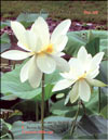 The White Lotus – Nelumbo nucifera «alba»
