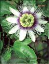 Пассифлора – Passiflora Caeruela