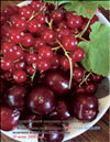 The red currants – Ribes vulgare Lam
