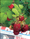 The red raspberry – Rubus daeus