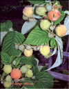 The yellow raspberry – Rubus ellipticus