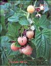 Малина жёлтая – Rubus ellipticus
