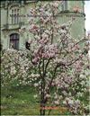 Magnolia Soulangiana – hybrid «Verbanica»