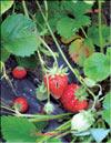 Клубника, садовая земляника – Fragaria ananassa