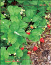 The strawberry – Fragaria ananassa