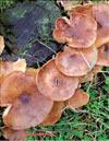 Устричный гриб – Pleurotus Ostreatus