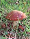 Перечный гриб – Chalciporus piperarus