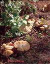 Маслёнок обыкновенный – Suillus luteus