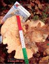 Лисички – Cantharellus tubiformis