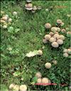 Опёнок луговой – Marasmius oreades