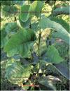 Magnolia «Iolannthe»