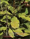 Magnolia «Lotus»