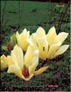 Magnolia «Butterflies»