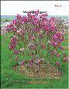 Magnolia «Susan»