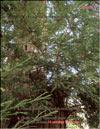 Секвойя – Sequoia Gigantea