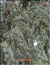 Голубой кедр – Cedrus Atlantica f. Glauca
