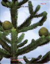 Araucaria araucana – the monkey puzzle tree
