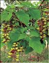 Paulownia tomentosa – Imperialis