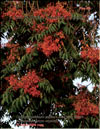 Tree of Heaven — Ailanthus Altissima