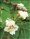 Catalpa bignoides (катальпа)