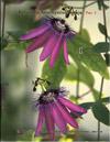 Passiflora Amethystina Tocaja