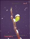 Плоды золотого инжира – Ficus carica L.