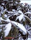 Японская слива – Photinia Japonica