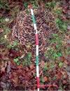 Японский гриб майтаке – Grifola frondosa